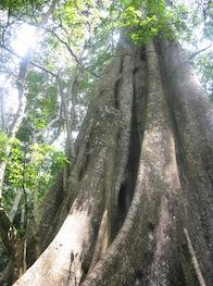 Nobel Laureate Professor Wangari Maathai campaigned to save the Mabira Forest Reserve.  Credit: Isaiah Esipisu/IPS
