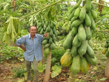 Giant papayas grown with the help of an underground reservoir in Laginhas, Pernambuco, in Brazil's arid Northeast. Credit: Mario Osava/IPS