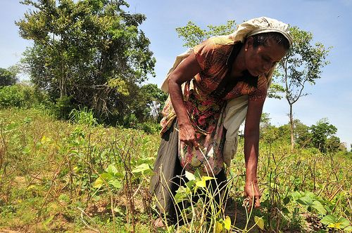 Woman works in family garden next to forest in village of Pillumallai in eastern Sri Lanka.  Credit: Amantha Perera/IPS
