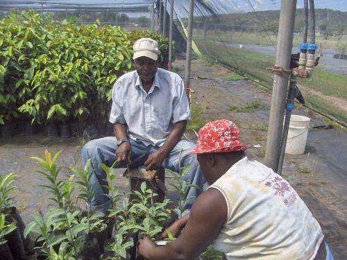 Workers at the Jamaican government-owned plant nursery at the Bodles Agricultural Station tend to tree seedlings. Credit: Zadie Neufville/IPS