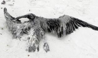 Bird washed ashore in Perdido Key, Florida. Credit: Susan Keith/IPS