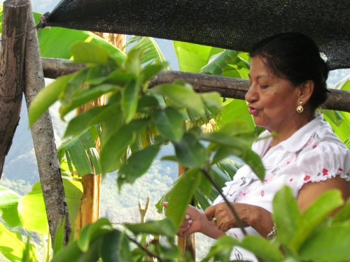 Teacher Nelly Olaya shows IPS the Floragaita school greenhouse, where seedlings are grown to help reforest the headwaters of the Las Ceibas river. Credit: Courtesy FAO