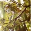 Cocoa leaves discoloured by swollen shoot disease. Credit:  Francis Kokutse/IPS