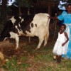 Sarah Kagino with her prized Friesian cow. Credit:  Joshua Kyalimpa/IPS