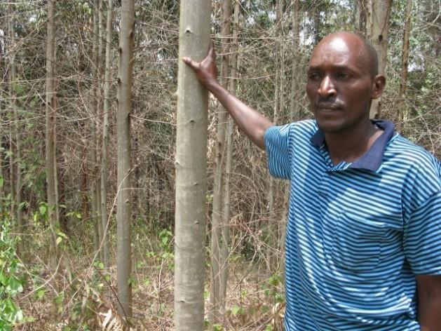 Peter Nyaga surveys his four-year-old eucalyptus woodlot. Credit: Isaiah Esipisu/IPS