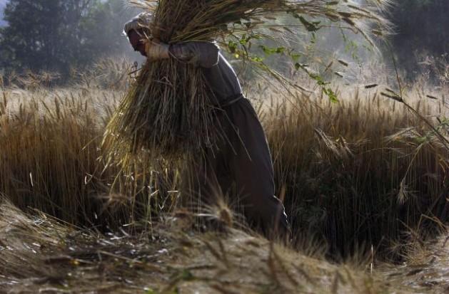 A farmer gathers wheat in Bamyan, Afghanistan. Credit: UN Photo/Eric Kanalstein