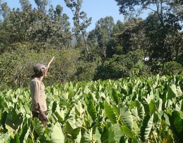 major cereal crops in ethiopia