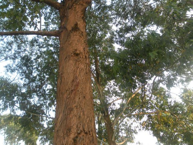 Thirsty eucalyptus trees drain soil fertility. Credit: Ngala Killian Chimtom/IPS