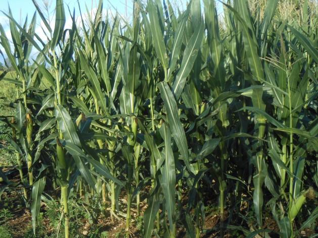 Fidenato's GMO MON810 maize in Tomba di Mereto 2014. Credit: Leandro Taboga