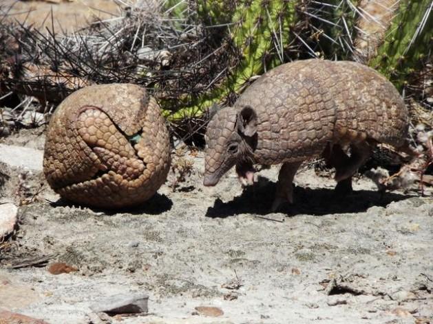 Three-banded armadillos. Credit: Caatinga Association