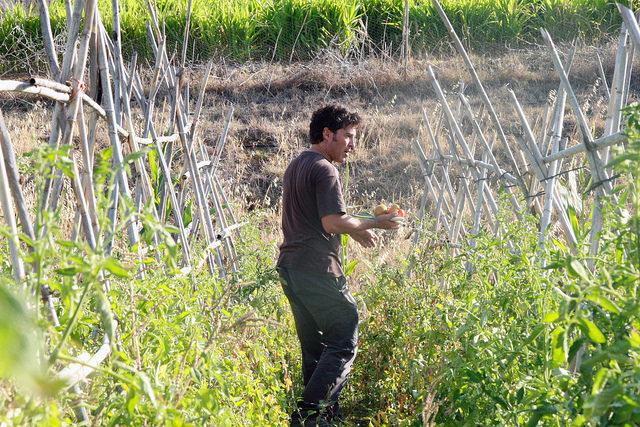 José María Gómez walking among the tomato plants on his Bobalén Ecológico farm in the Valle de Guadalhorce near the southern Spanish city of Málaga, where he grows organic vegetables and fruits. Credit: Inés Benítez/IPS