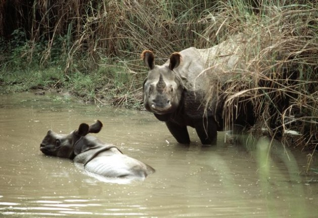 Mother and baby rhinoceros in Tigertops Wildlife Sanctuary, Nepal. The unrestricted exploitation of wildlife has led to the disappearance of many animal species at an alarming rate, destroying earth's biological diversity and upsetting the ecological balance. Credit: UN Photo/John Isaac