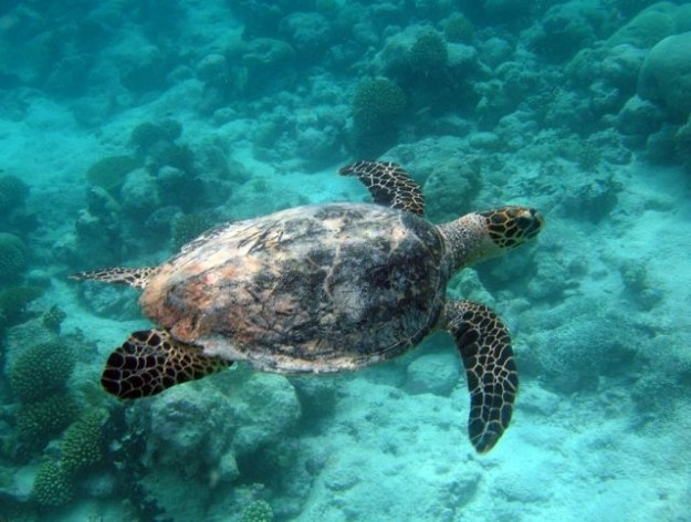 A turtle swims in a Marine Protected Area. Credit: Foreign and Commonwealth Office