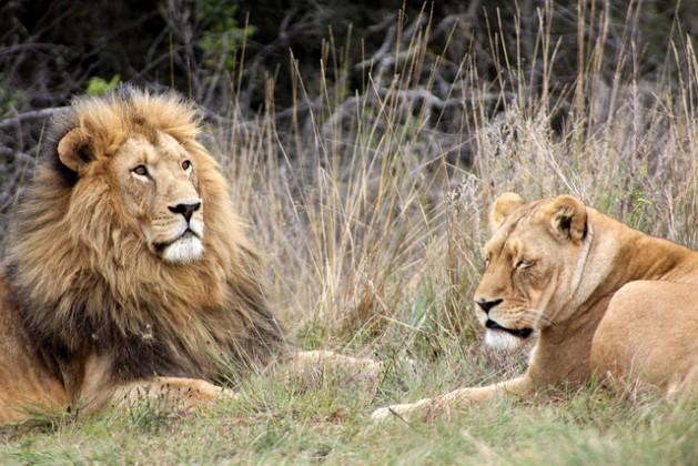 Lions, Krugersdorp Game Reserve in South Africa. Credit: Derek Keats/cc by 2.0