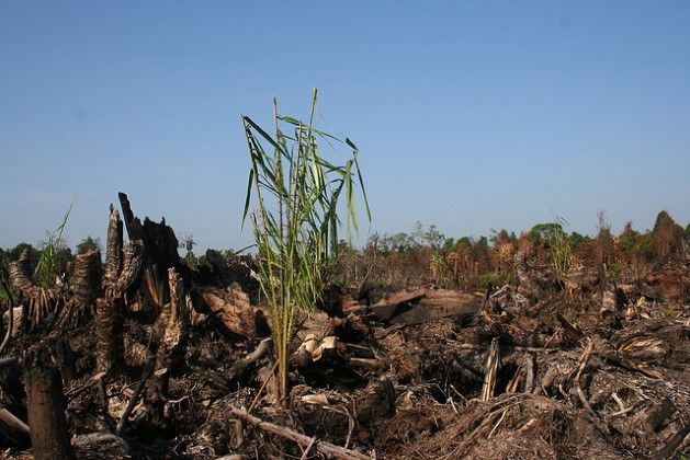 An oil palm seedling in a burned peat forest. Credit: Courtesy of Wetland International