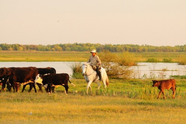 Gauchos have lived in harmony with nature for centuries in Argentina's pampas, where a project to preserve the grasslands is seeking to protect the ecosystem with the participation of traditional stockbreeders and gauchos. Credit: Courtesy of Gustavo Marino/Aves Argentinas