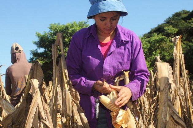 Domitila Reyes, 25, picks a cob of native corn in a field in the Mangrove Association, one of the two small farmer organisations that produce these seeds for the government's Family Agriculture Plan in El Salvador. The seeds are not only high yield but are also more tolerant of the climate changes happening in this Central American country. Credit: Edgardo Ayala/IPS