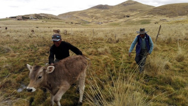 Two peasant farmers with a calf in the Andes highlands community of Alto Huancané in the southeastern department of Cusco. Small farmers like them provide around 80 percent of the food for the inhabitants of Latin America and the Caribbean. Credit: Milagros Salazar/IPS