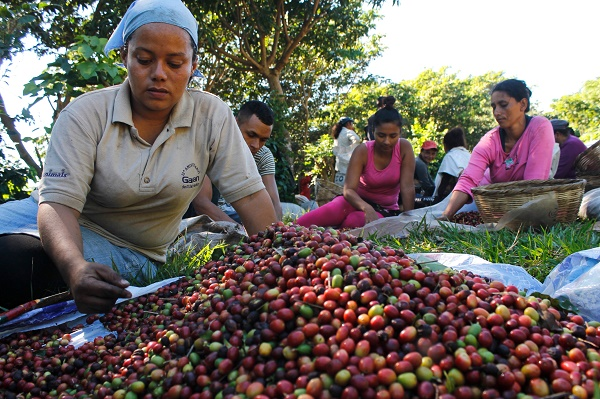 Ilsy Membreño separates green and red coffee beans, part of the tasks involved in the harvest on the Montebelo farm in El Salvador. The drop in production caused by coffee leaf rust has driven wages down to just three dollars a day. Credit: Edgardo Ayala/IPS