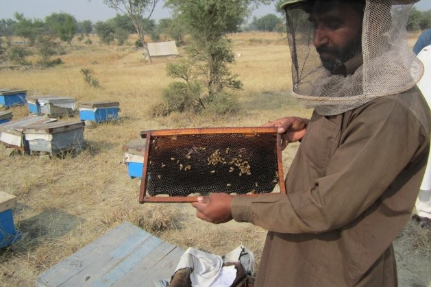 Hakim Khan inspects beehive in Ghool village of the Chakwal district, about 90 km (56 miles) southeast of Islamabad, Pakistan's capital. Credit: Saleem Shaikh/IPS