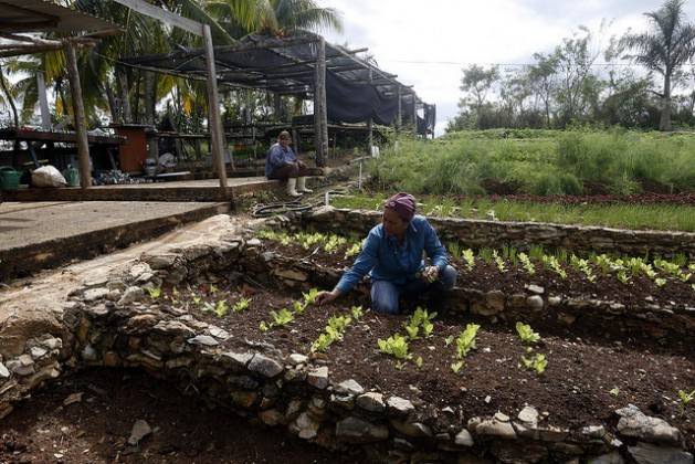 A worker on the Marta farm, which was founded by one of the first proponents of agroecology in Cuba, harvests organic lettuce in the municipality of Caimito, in the western Cuban province of Artemisa. Credit: Jorge Luis Baños/IPS