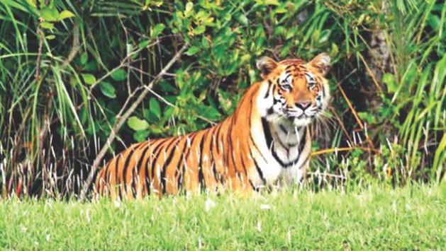 bengal_tiger_