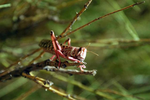 Locusts can devastate crops and pastures. Photo: FAO/Giampiero Diana