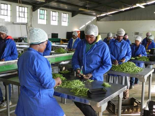 Processing baby vegetables at Sidemane Farm in Swaziland. An EU grant helped local farmers to buy equipment and get training in business management and marketing. Credit: Mantoe Phakathi/IPS