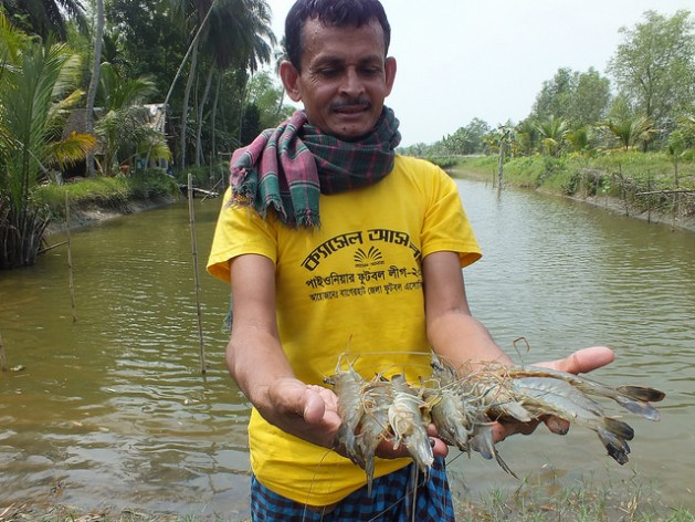Bangladeshi Shrimp Farmers See Big Money in Small Fry