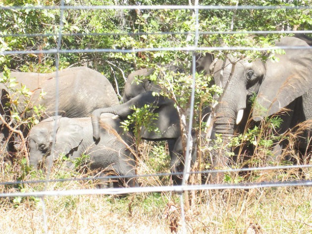 Elephants in a solar-powered holding pen in Malawi, which is carrying out a major translocation between conservation parks. Credit: Charles Mkoka/IPS