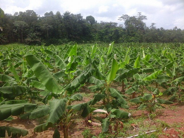 Albert Kanga's plantain farm on the outskirts of Abidjan, Cote d'Ivoire. Credit: Friday Phiri/IPS