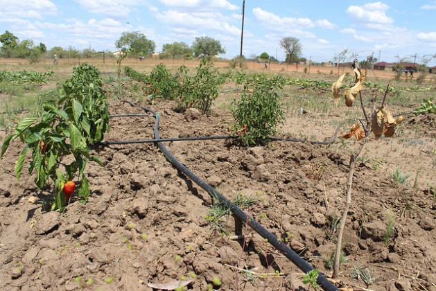 A programme supporting emerging women small-scale farmers has been hit hard by the drought. Here a crop of peppers and tomatoes at a school farming scheme at Risenga Primary School, in Giyani, Limpopo province, wilts in the sun. Credit: Desmond Latham/IPS