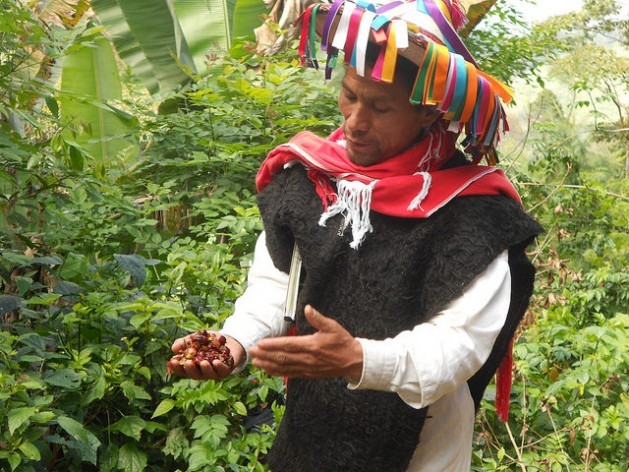 An indigenous peasant farmer holds native coffee grains he grows in the southern Mexican state of Chiapas. The sharing of benefits generated by genetic resources has become a controversial issue throughout Latin America. Credit: Emilio Godoy/IPS