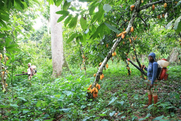 Six million Cameroonians depend on the cocoa sector for a living. Credit: Mbom Sixtus/IPS