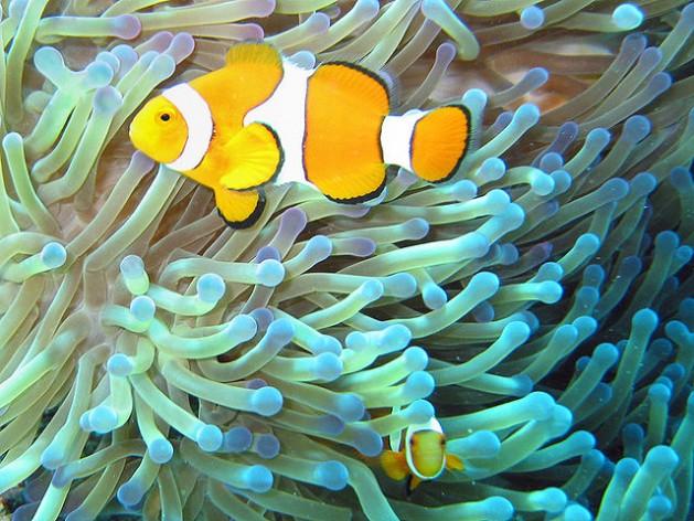Clownfish on the Great Barrier Reef. Credit: Jan Derk/public domain