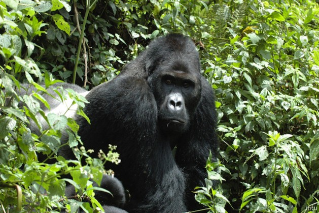 Four out of six great ape species are now listed as Critically Endangered.Photo courtesy of IUCN