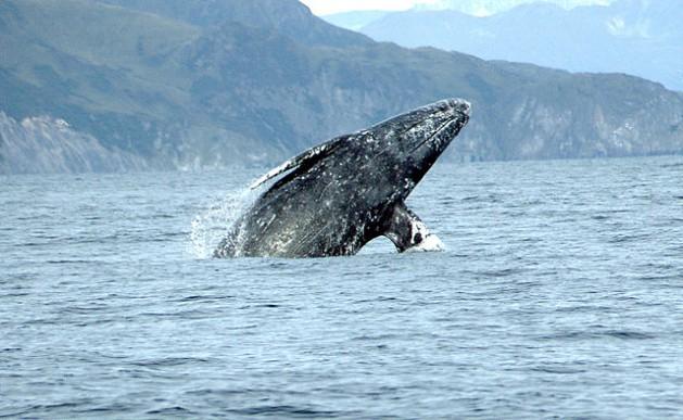 Gray whale (Eschrichtius robustus) breaching. Credit: Merrill Gosho, NOAA/public domain