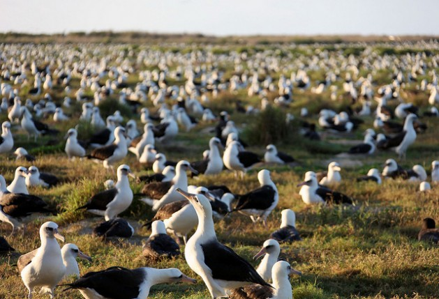 Laysan albatross on Midway Atoll National Wildlife Refuge in Papahanaumokuakea Marine National Monument number over a million and cover nearly every square foot of open space during breeding and nesting season. Credit: Andy Collins/NOAA Office of National Marine Sanctuaries
