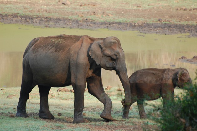 Savanna elephant populations in 15 countries declined by an average of 30 percent – equal to some 144,000 elephants – between 2007 and 2014. Credit: Malini Shankar/IPS