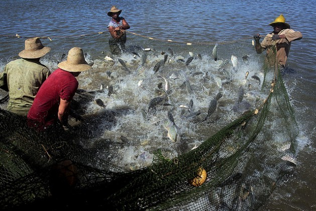 Tilapia jump as they are caught on the La Juventud fish farm in the Los Palacios municipality in the western province of Pinar de Rio, Cuba. Credit: Jorge Luis Baños/IPS