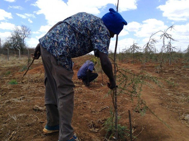 A Kenya Forestry Research Institute technician pruning an acacia tree at a drylands research site in Tiva, Kitui County. Credit: Justus Wanzala/IPS