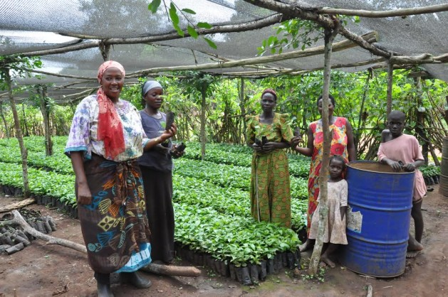 Nursery operators raise improved Robusta coffee seedlings in Uganda. Credit: IITA