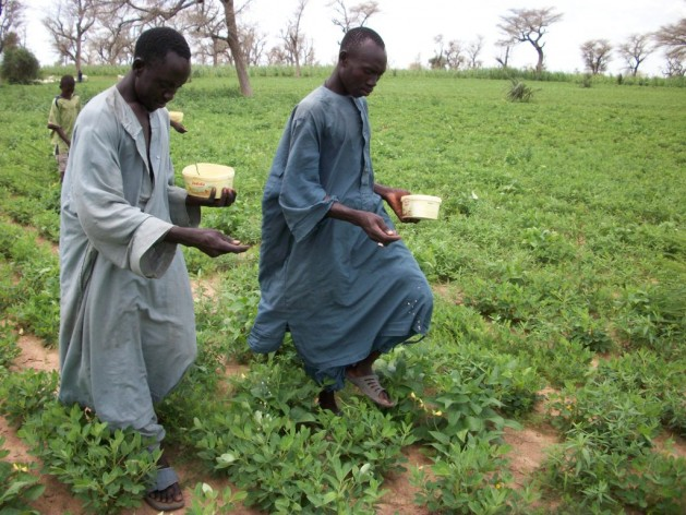 Application of Aflasafe in groundnut field. Photo courtesy of Aflasafe.com