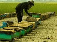 Beekeeping in Chalanbeel Gains Popularity among Pabna, Sirajganj Farmers