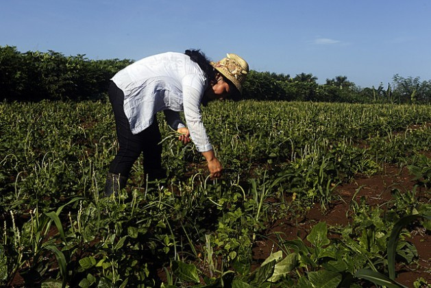 Iraida Semino picks green beans (Phaseolus vulgaris) on her farm La Maravilla, which belongs to the Roberto Negrín González Credit and Services Union in the municipality of La Lisa, on the outskirts of the Cuban capital. Credit: Jorge Luis Baños/IPS