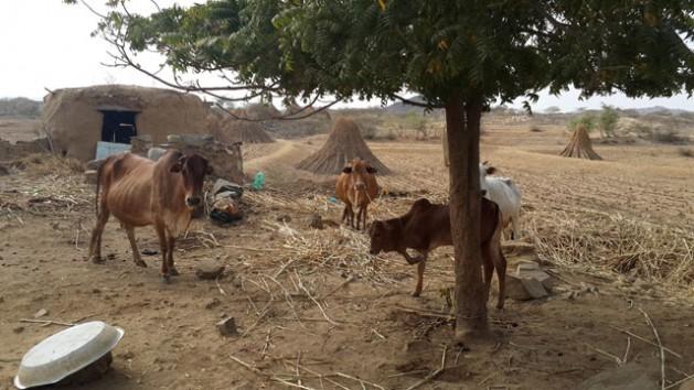 Al Hudaydah, Yemen.  Dairy cattle seek shade. Credit: FAO/Chedly Kayouli
