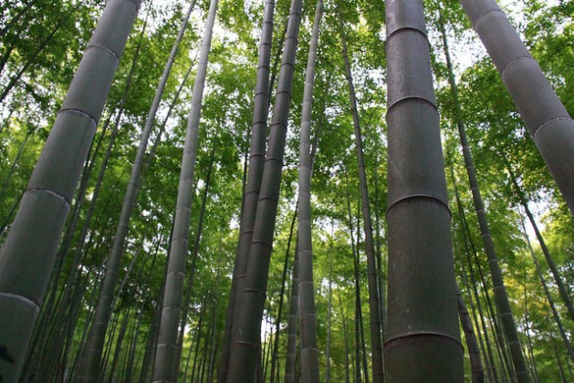 Bamboo sequesters carbon at rates comparable to or greater than many tree species. Credit: Desmond Brown/IPS