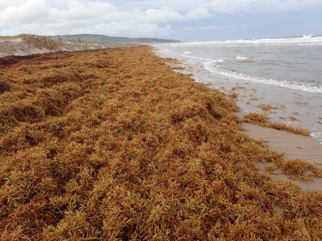 Sargassum inundates a beach on Barbados. Credit: H. Oxenford/Mission Blue