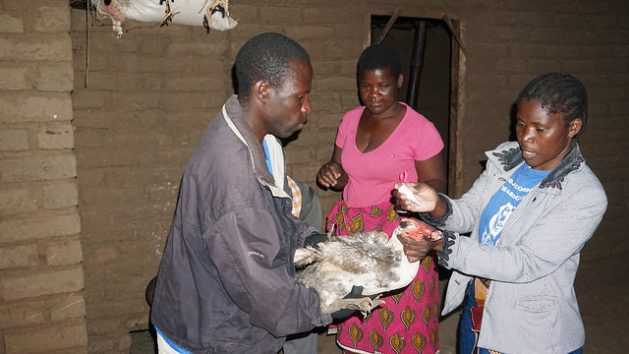 A poultry farmer from Lumbwe village in Malawi hands her chickens to Lydia Katengeza to administer a vaccine against Newcastle Disease. Credit: Charles Mkoka/IPS