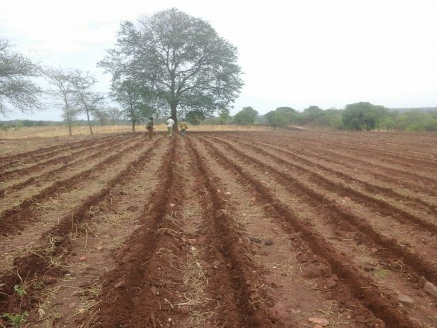 Minimum tillage (ripping) in Kasiya Camp, Zambia. Credit: Crissy Mupuchi/DAPP